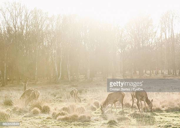 deer grazing on field at richmond park - bortes cristian stock photos and pictures