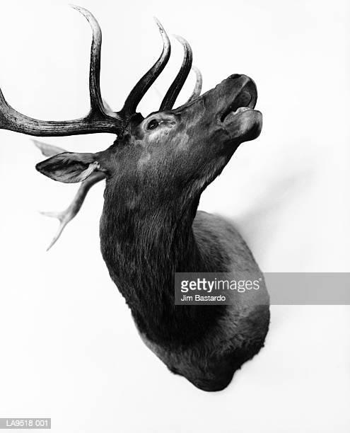 Deer head hunting trophy (B&W)