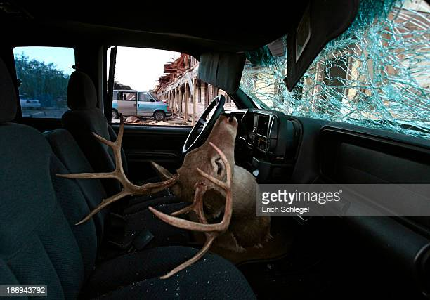 A deer head mount sits inside a damaged car parked next to the apartment complex that was severely damaged by yesterday's explosion at the fertilizer...