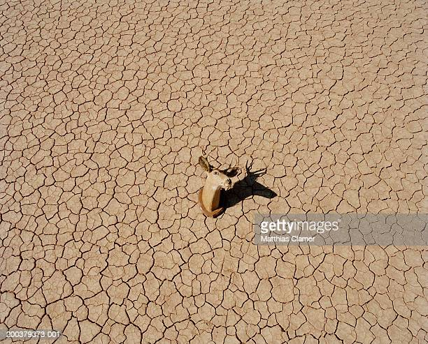 Deer head on cracked earth, elevated view