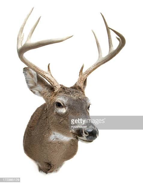 deer head - white tail deer stock photos and pictures