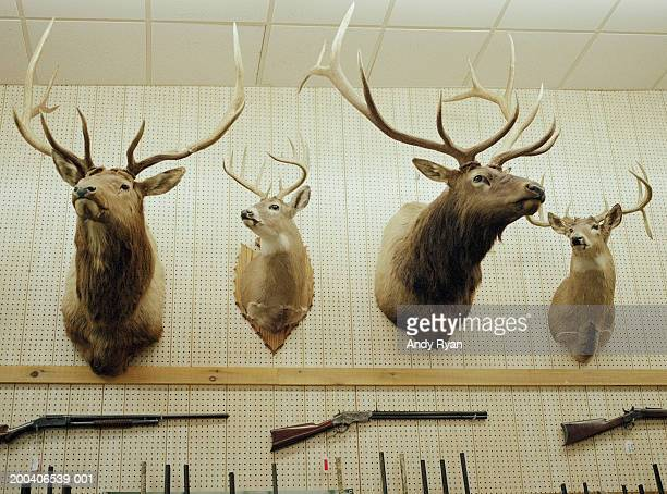 deer head trophies and rifles mounted on wall - antler stock pictures, royalty-free photos & images
