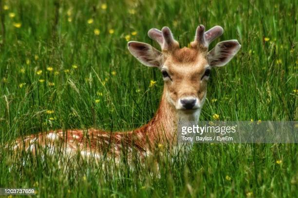deer hiding in the grass - antler stock pictures, royalty-free photos & images