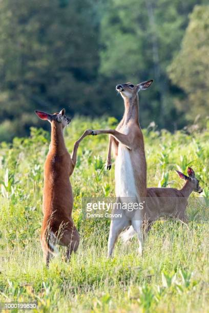 deer hoof bump - shenandoah_national_park stock pictures, royalty-free photos & images