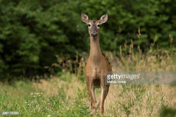 deer in a clearing - femmina di daino foto e immagini stock