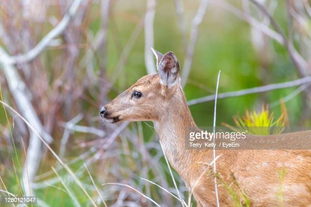 deer in a field at st. andrews state park - florida us state stock pictures, royalty-free photos & images