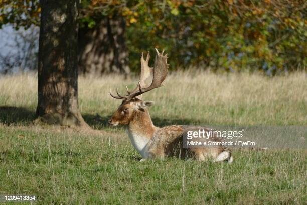 deer in a field - chatsworth house stock pictures, royalty-free photos & images