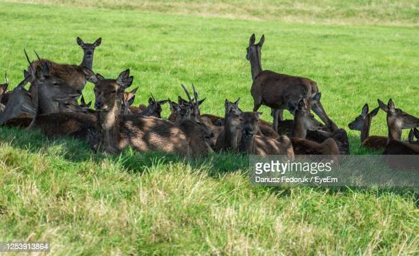 deer in a field - medium group of animals stock pictures, royalty-free photos & images