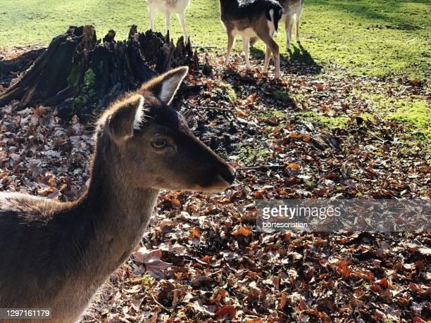 deer in a field - bortes imagens e fotografias de stock