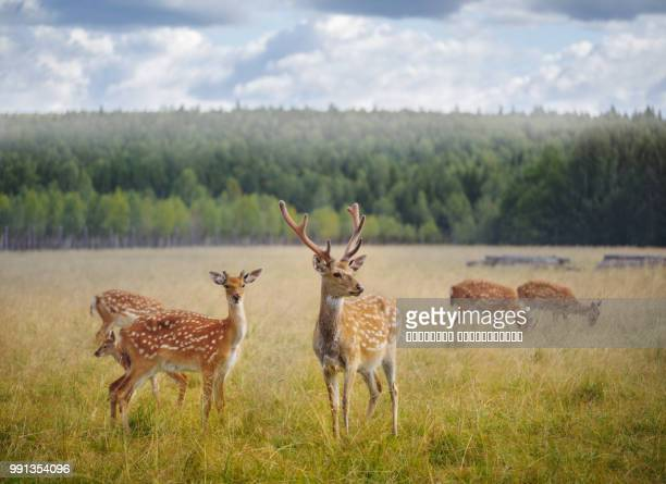 deer in a field. - grazing stock pictures, royalty-free photos & images