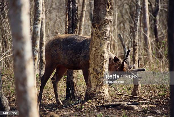 Deer in a forest, Bandipur National Park, Chamarajanagar, Karnataka, India
