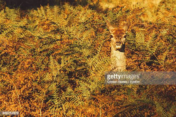 deer in bushes - camouflage stock pictures, royalty-free photos & images
