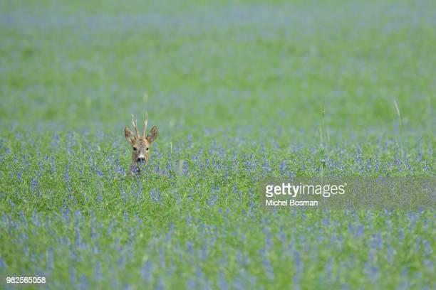 deer in field of wild flowers - chevreuil photos et images de collection