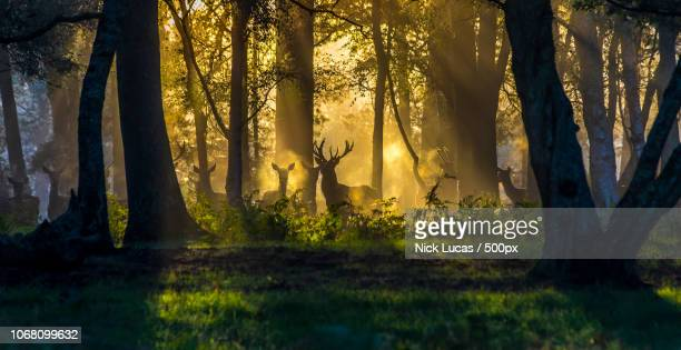 deer in forest at sunrise - deer stock pictures, royalty-free photos & images