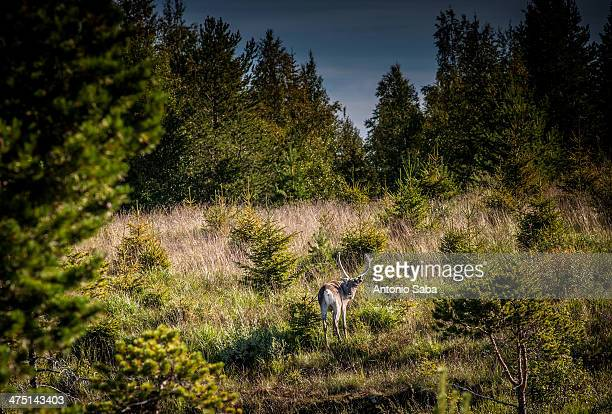 Deer in forest clearing, Lapland, Sweden