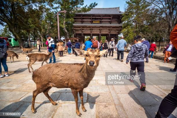 Hirsch vor dem Nandaimon Gate of Todaiji Tempel, Nara Park, Japan