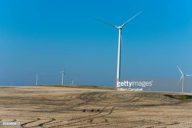 Deer in front of wind turbines on private working ranch land on July 31 2017 near Kevin Montana The Rim Rock Wind Farm is operated by NaturEner USA...