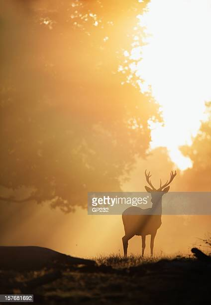 deer in golden light - richmond upon thames stock pictures, royalty-free photos & images
