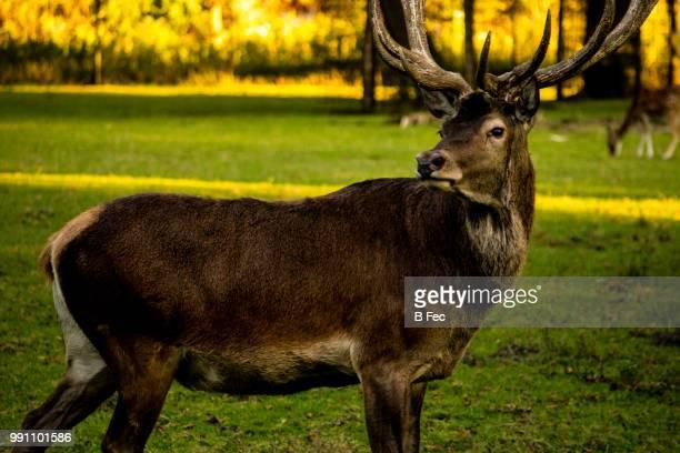 deer in headlights - deer in headlights stock pictures, royalty-free photos & images