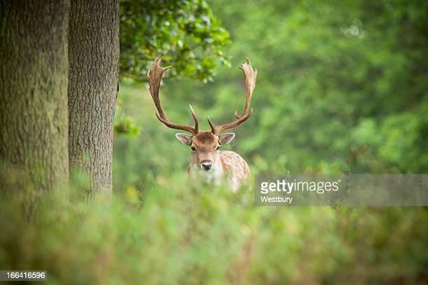 Deer in long grass