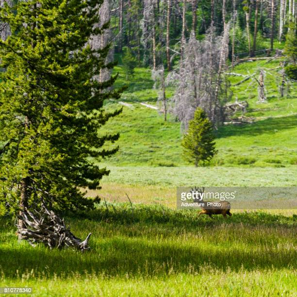 deer in meadow - steamboat springs colorado stock photos and pictures