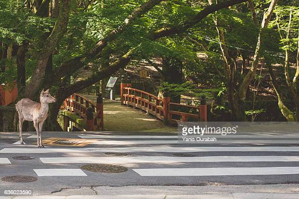deer in nara city, japan - shrine stock pictures, royalty-free photos & images