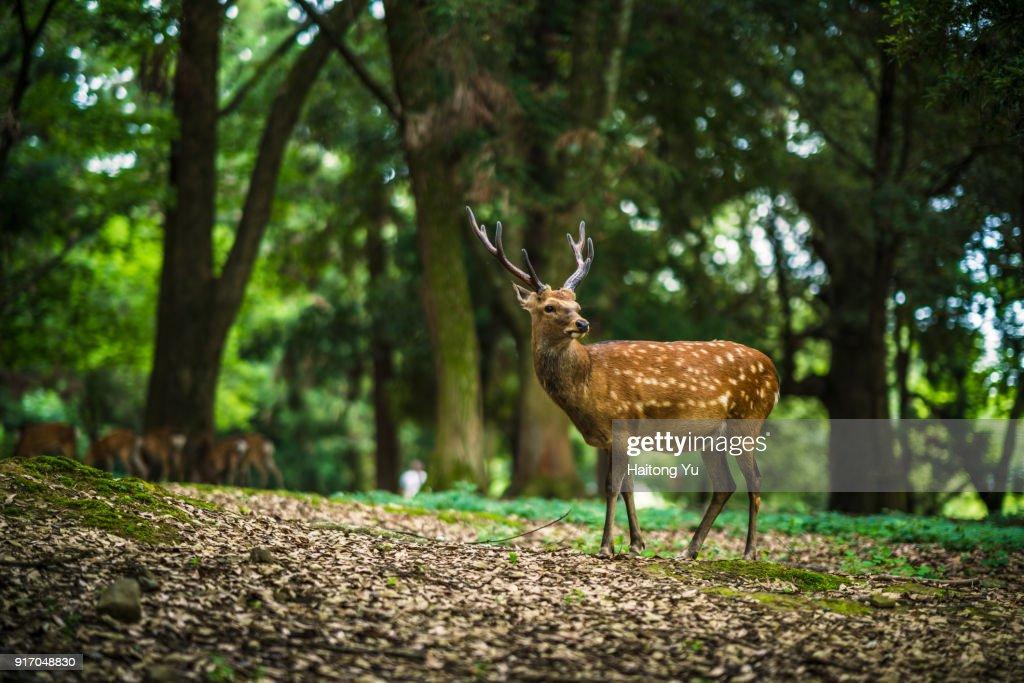 Deer in Nara : Foto de stock