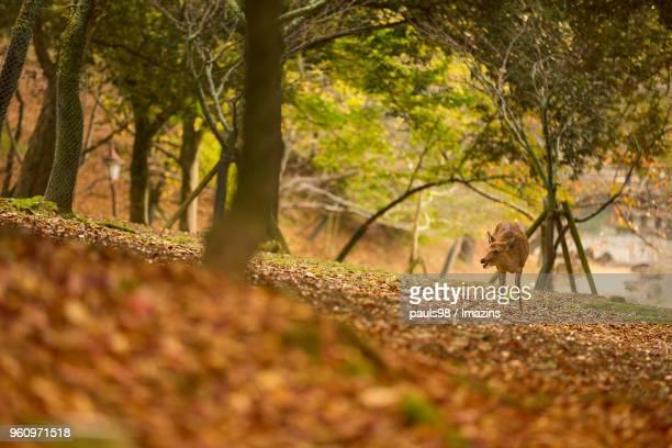 Deer in Nara-Koen Park in Japan