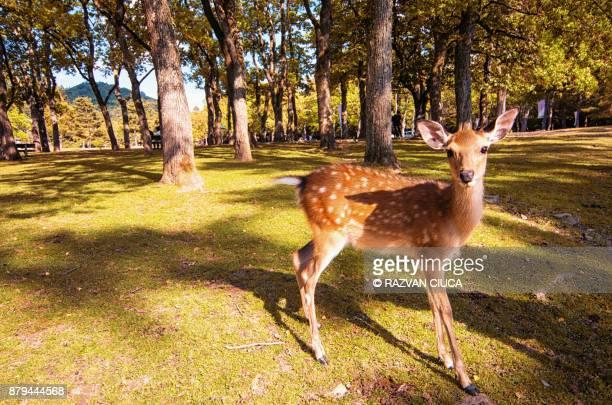 deer in nara's park - 奈良市 ストックフォトと画像