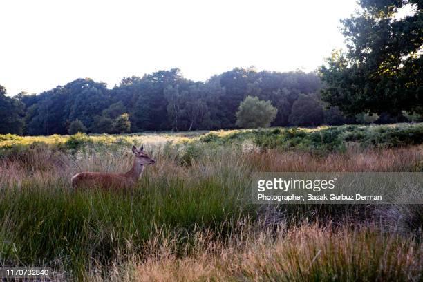 deer in nature - リッチモンド公園 ストックフォトと画像