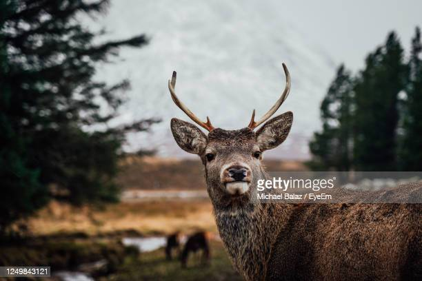 deer in rannoch moor in scotland mountains and forest nature - deer stock pictures, royalty-free photos & images