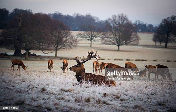 deer in richmond park, london - richmond park stock pictures, royalty-free photos & images