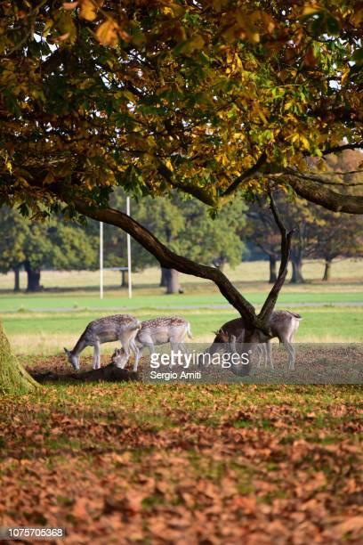 Deer in Richmond Park