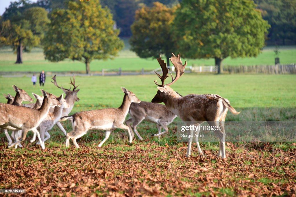 Deer in Richmond Park : Stock Photo