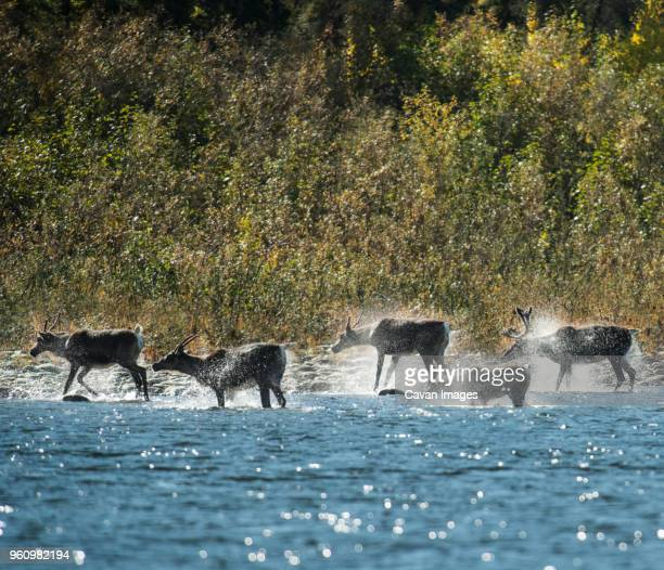 deer in river at yukon_charley rivers national preserve during sunny day - charley green stock pictures, royalty-free photos & images