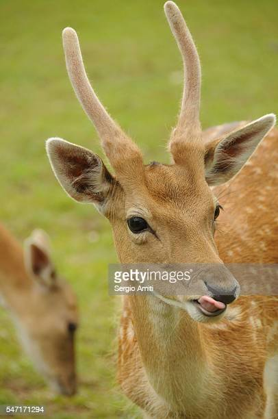 Deer in the English countryside