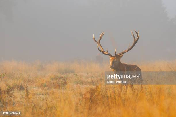 deer in the field - fog stock pictures, royalty-free photos & images