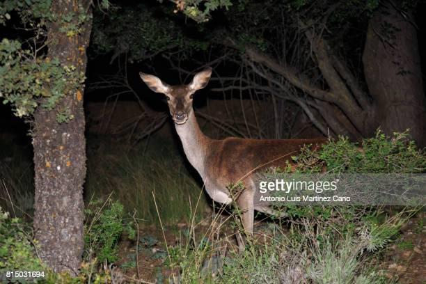 deer in the forest at night - veado - fotografias e filmes do acervo