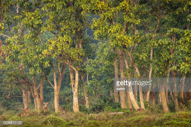 deer in the forest of chitwan national park, nepal - terai stock pictures, royalty-free photos & images