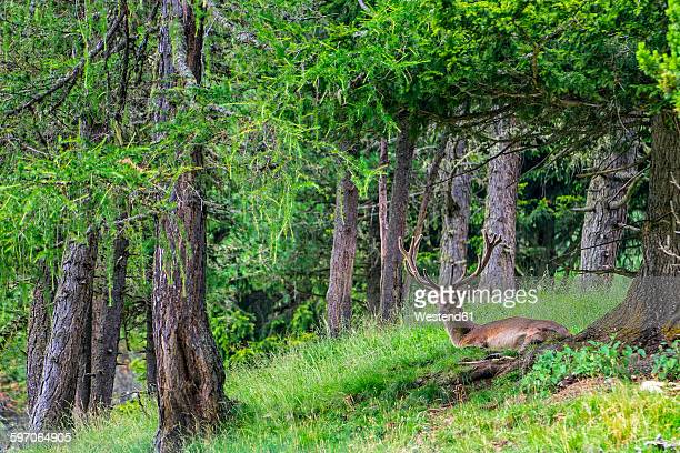 deer in the forest - chevreuil photos et images de collection