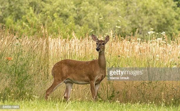 deer in the meadow - femmina di daino foto e immagini stock