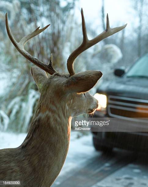 deer in the road - deer in headlights stock pictures, royalty-free photos & images