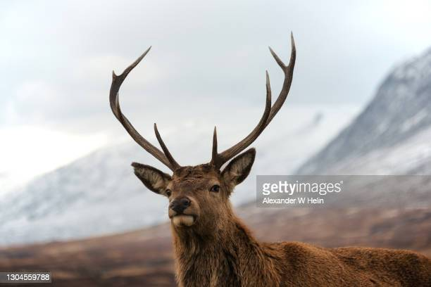 deer in the scottish highlands - deer stock pictures, royalty-free photos & images
