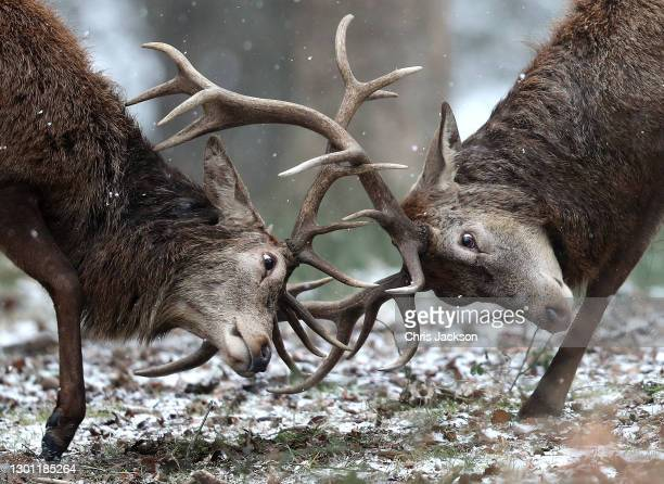 Deer in the snow in Richmond Park on February 09, 2021 in London, England .