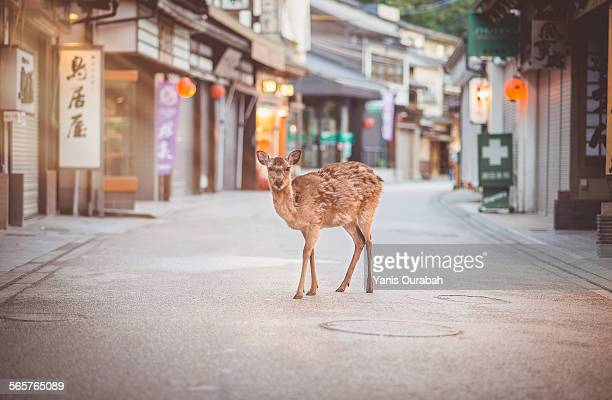 Deer in the street of Miyajima Itsukushima island