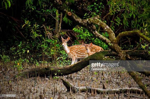 deer in the sundarbans - khulna stock photos and pictures