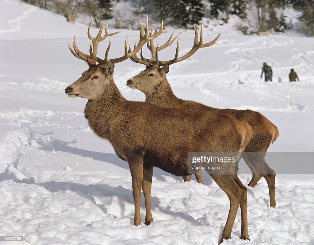 Deer in the winter : Stock Photo