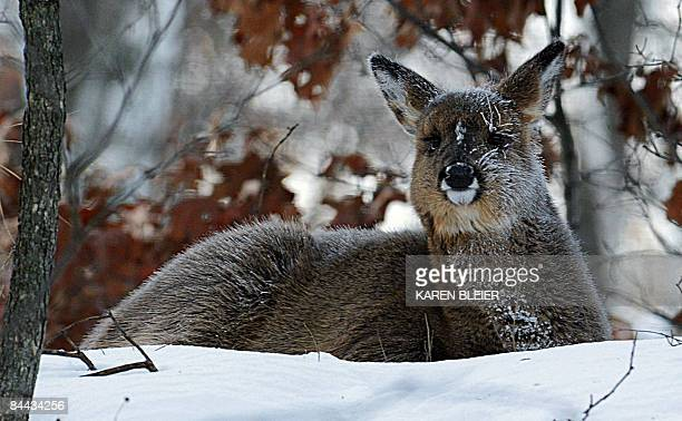 A deer is covered with frost after waking up in the woods on an extremely cold morning behind a residence in Hudson Wisconsin on January 24 2009 An...