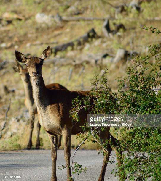 deer is curious - springbok deer stock photos and pictures