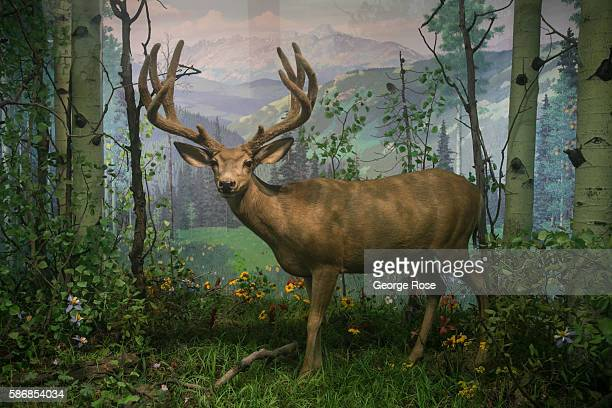 A deer is featured in a wildlife diorama at the Museum of Nature Science on July 29 in Denver Colorado Denver the State Capitol and the nearby cities...